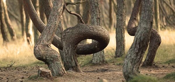 «Танцующий лес» на Куршской косе
